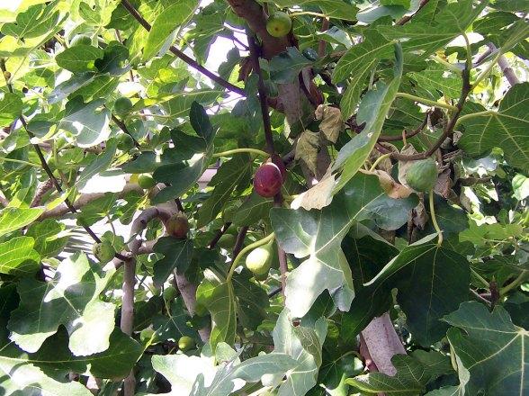 Fig_tree
